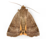 Moths - Image to be added