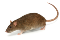 http://protectpestcontrol.co.uk/wp-content/uploads/2018/07/brown-rat-200w.png
