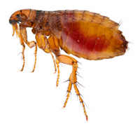 http://protectpestcontrol.co.uk/wp-content/uploads/2018/07/flea-200w.png