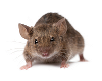 https://protectpestcontrol.co.uk/wp-content/uploads/2018/07/mouse-150h.png
