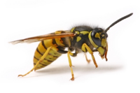 http://protectpestcontrol.co.uk/wp-content/uploads/2018/07/wasp-200w.png